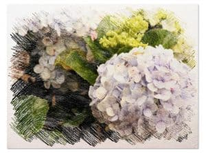cultivo de hortensias