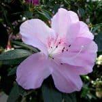 Sembrar Azaleas en Tu Jardín: [Guía Completa y Respuestas]