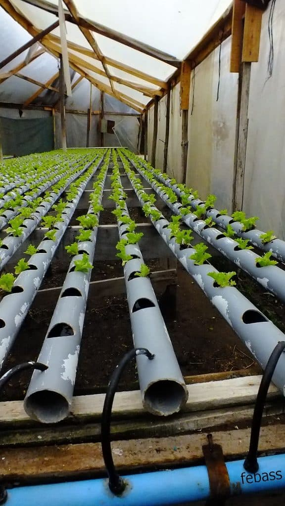 cultivo hidropónico de lechugas