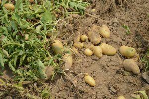 Cómo detectamos exceso de agua en la patata