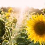 La Guía Total sobre Cómo Sembrar Flores y tener un Jardín de Ensueño