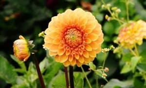 dalias flores bonitas
