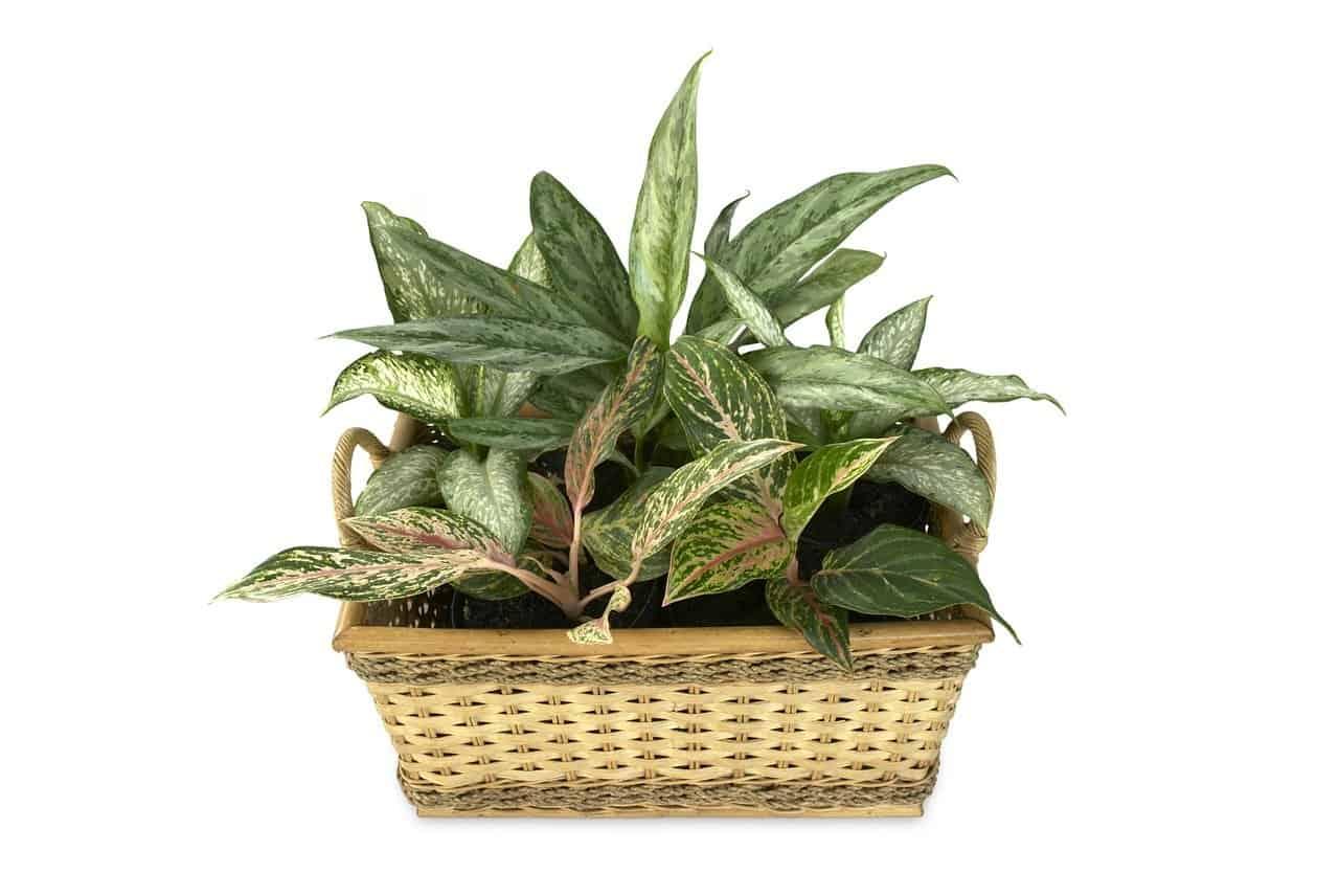 cultivo y cuidados de Dieffenbachia