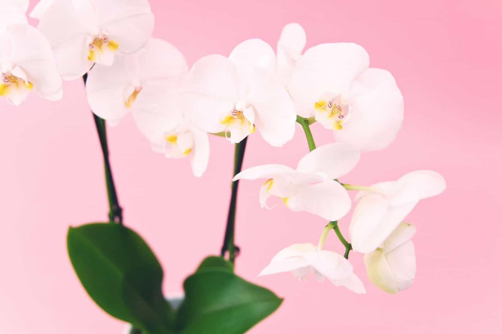 dónde sembrar orquídeas