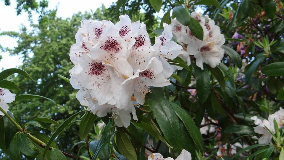 dónde sembrar rododendro