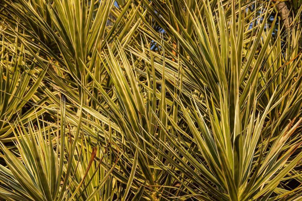 plantar dracaena marginata