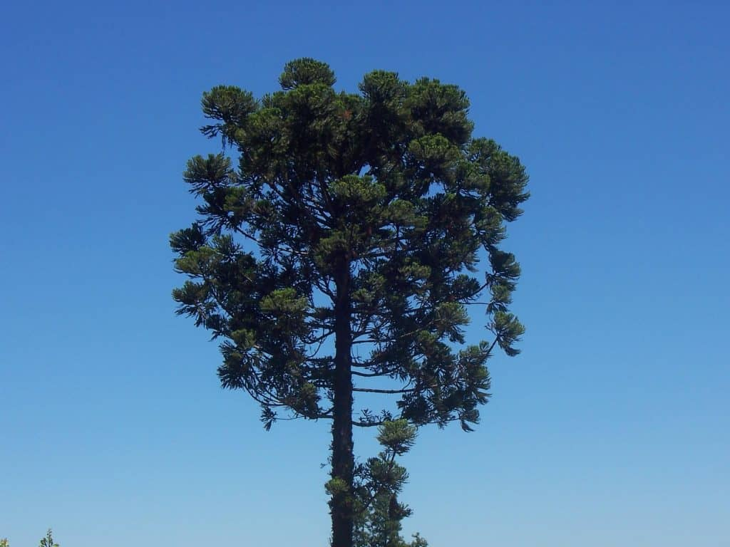 el árbol de aracuria