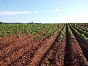 el cultivo de batatas
