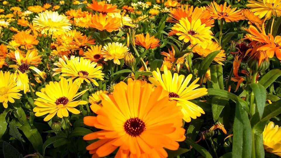 plantar crisantemos