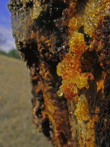 enfermedades del ciruelo gumosis