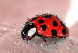 Escarabajo tubérculos plagas