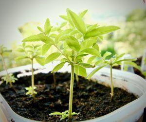 Cómo debemos tomar los esquejes de orégano para sembrarlos