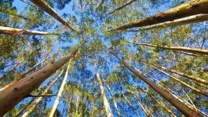 los eucaliptos también son árboles muy grandes