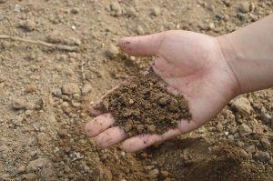 Fertilizar en la siembra de jengibre