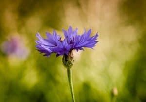 Las 25 Flores Silvestres Mas Comunes Bonitas Y Faciles De Cultivar