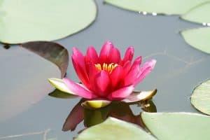 flor de loto bonita