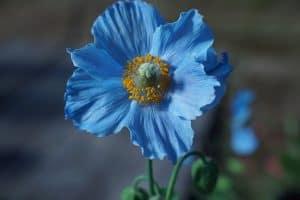 Significado de las flores azules - Emociones