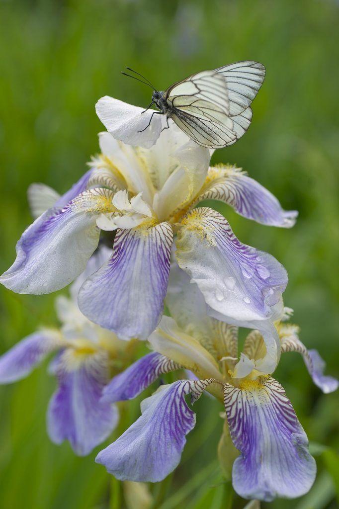Flor de siberia y flores de primavera