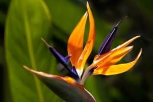 flor del paraíso como planta tropical