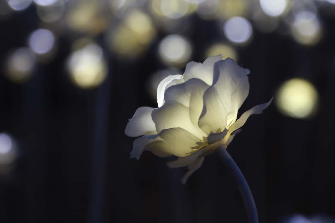 La flor eléctrica y sus cuidados