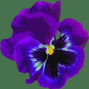 Flores Negras y la Viola