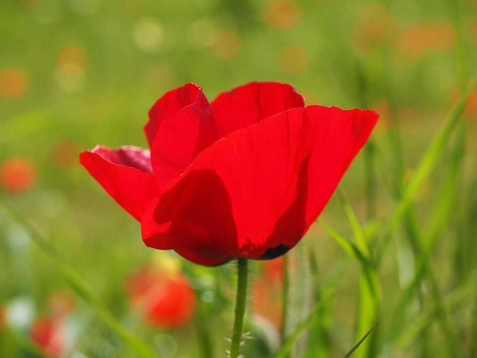 flores silvestres amapola