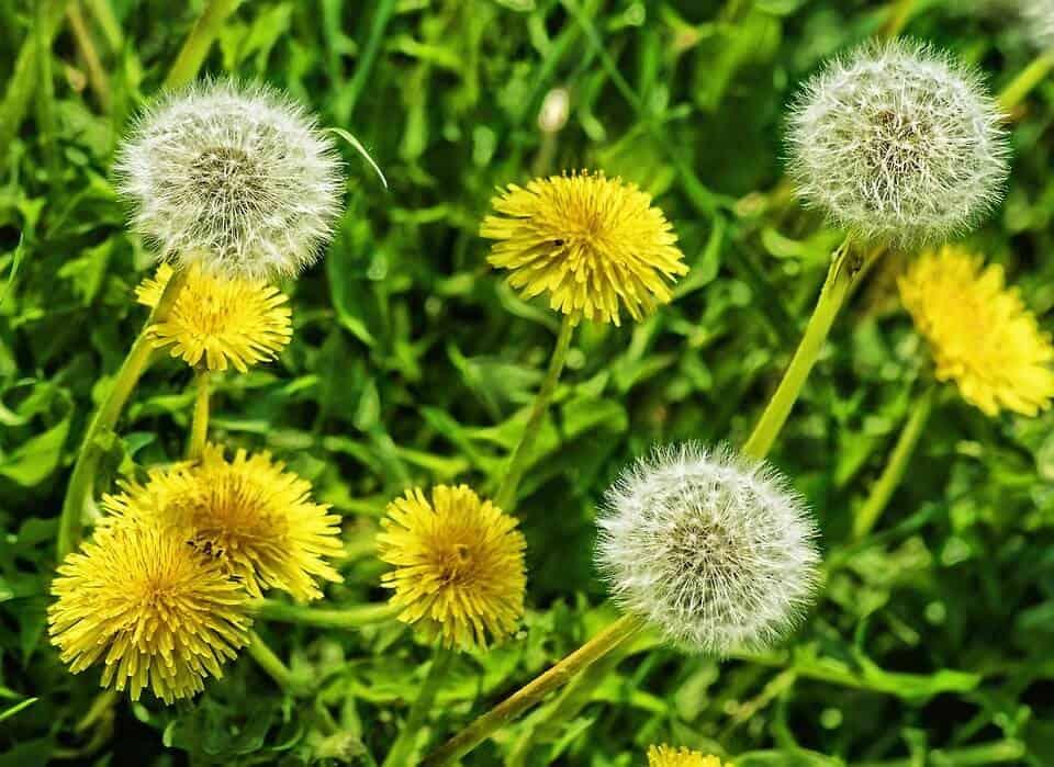 flores silvestres diente de león