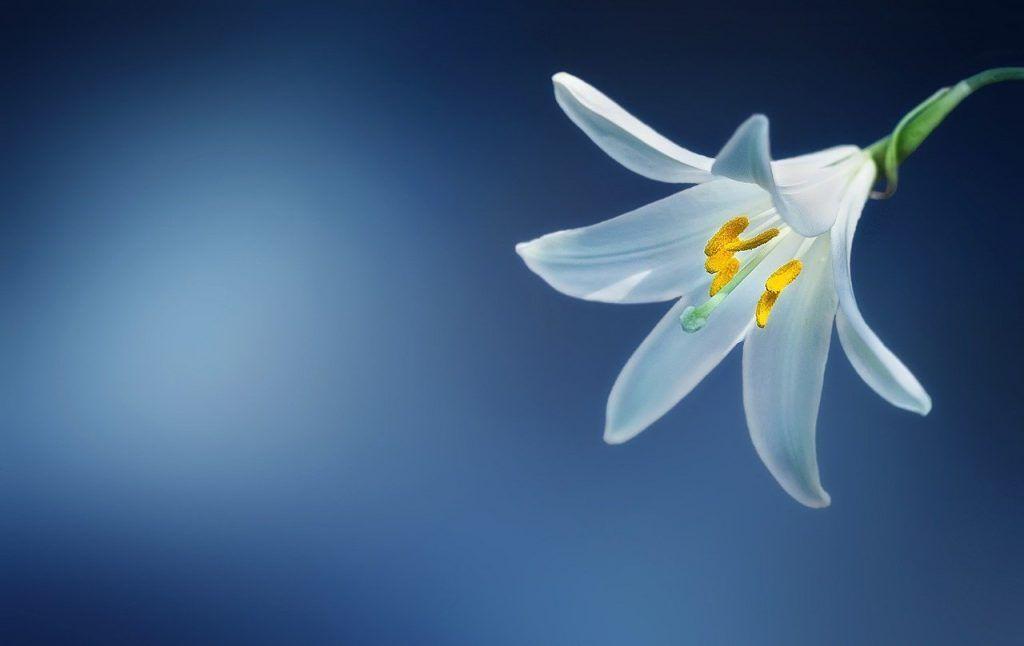 Cuidados de las flores blancas