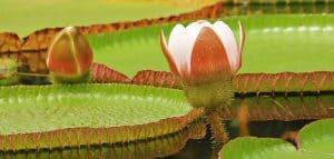 Flores del amazonas