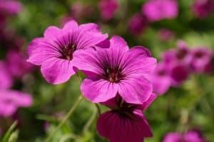 Cuidados de las flores híbridas