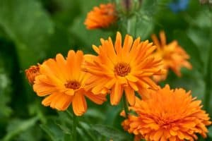 Cuidados de las flores llamativas