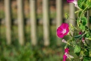 Características de las Flores Trepadoras
