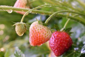 Riego de Fresas por Goteo