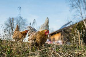 Cómo se deben cuidar a las gallinas