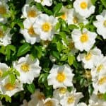 dónde sembrar gardenias