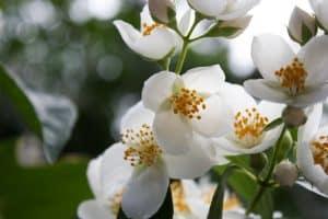 cuidados y plantación de las gardenias