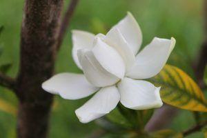 Riego de Gardenias