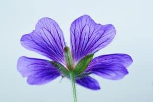 Flores de verano y los geranios