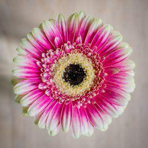 Flores Híbridas la Gerbera Híbrida
