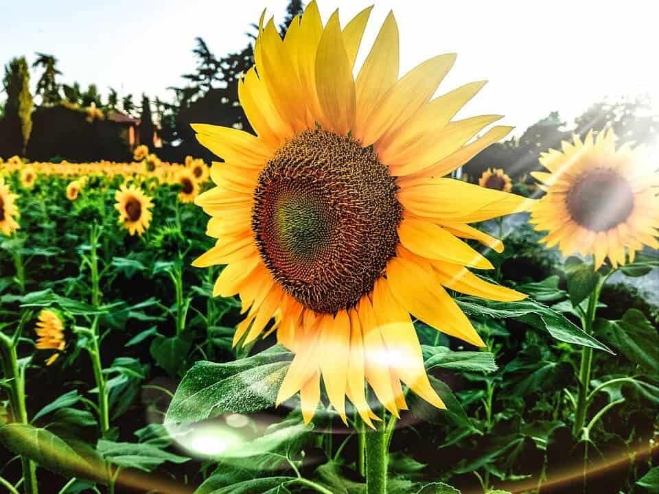 Las 20 flores bonitas m s comunes y f ciles de cultivar - Plantas de jardin fotos ...