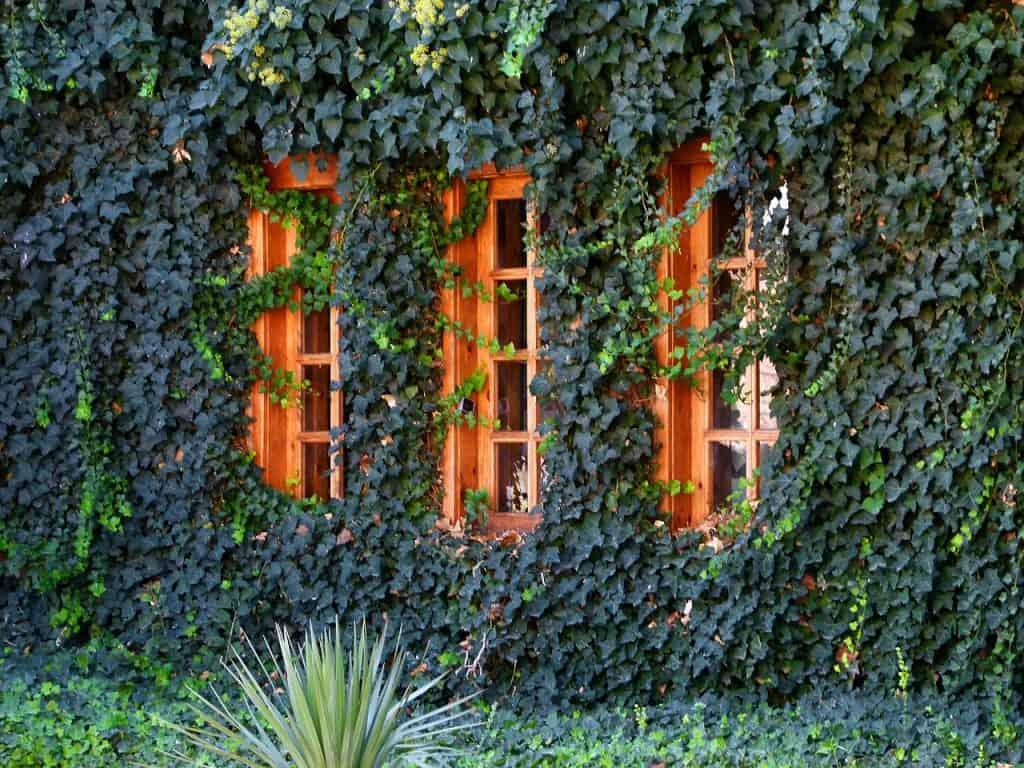 Hiedra plantas colgantes de interior