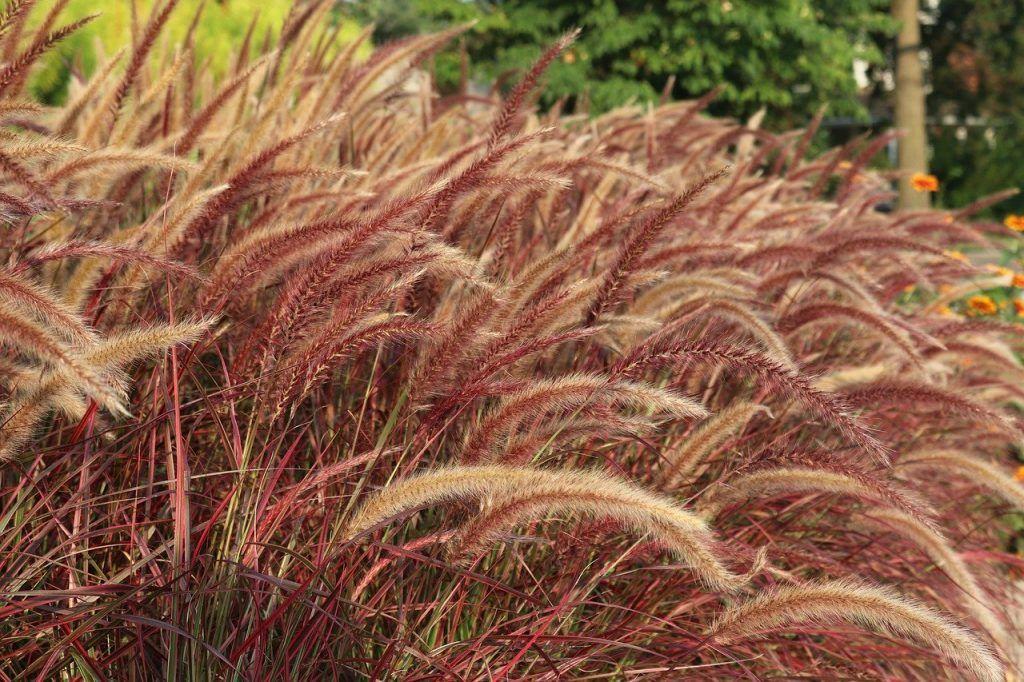 Hierba de la fuente como planta resistente de exterior