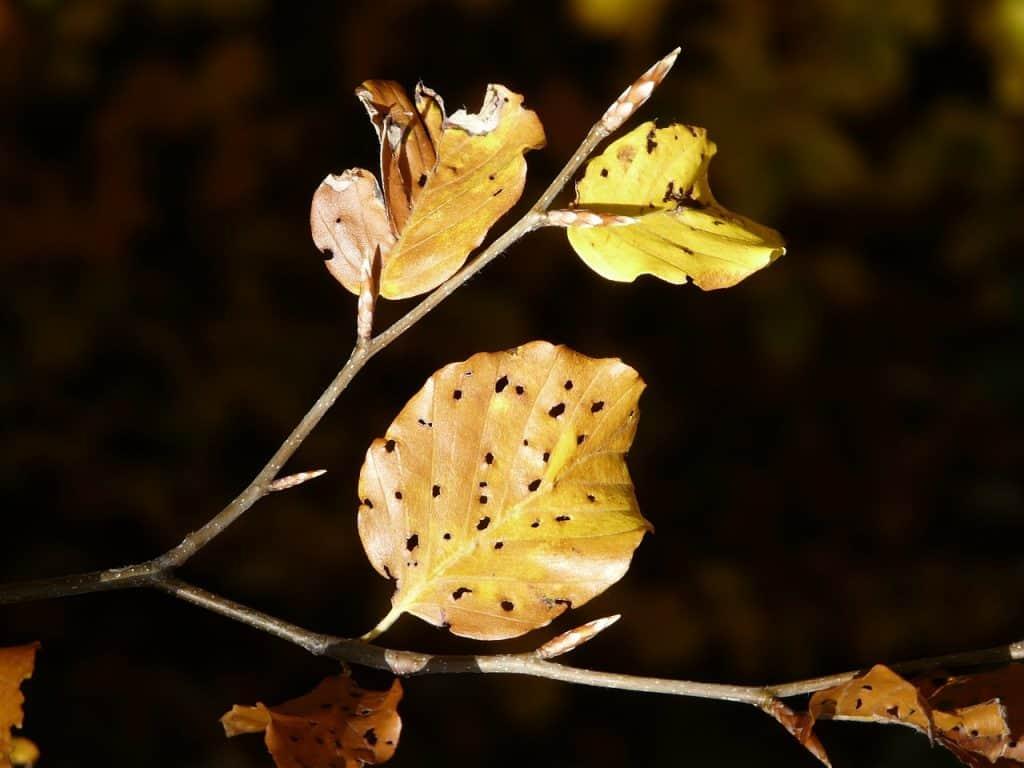 hojas amarillas ciclamen
