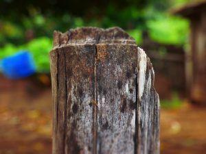 hongo raíz plaga y enfermedades
