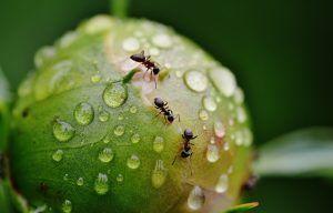 Qué plagas y enfermedades atacan a la Phalaenopsis - Hormigas