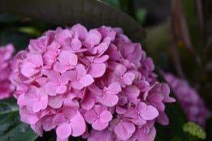 Qué caracteriza a las hortensias