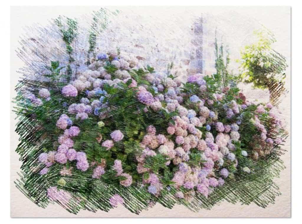 hortensias como sembrar d
