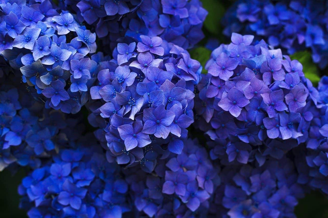 Hortensias y Flores de Primavera