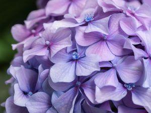 Cada cuánto debemos podar las hortensias - Las de madera vieja