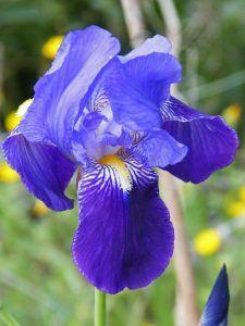 Características de la Iris Germánica